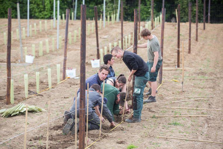 Leerlingen van het Provinciaal Instituut Bio- Technisch Onderwijs in Tongeren planten de eerste 280 stokken van een wijngaard.