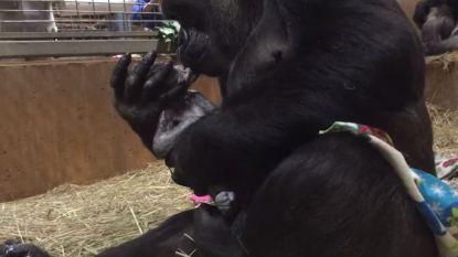 Schattig: gorillamoeder verwelkomt pasgeboren baby op tedere manier