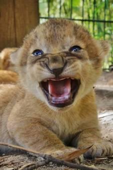 Drie leeuwenwelpjes geboren in Safaripark Beekse Bergen