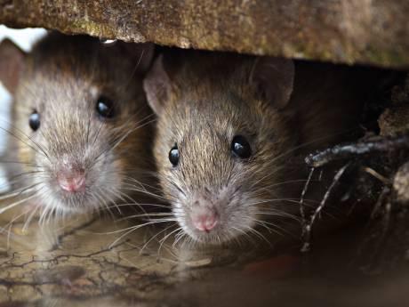 Den Haag begint groot offensief tegen ratten