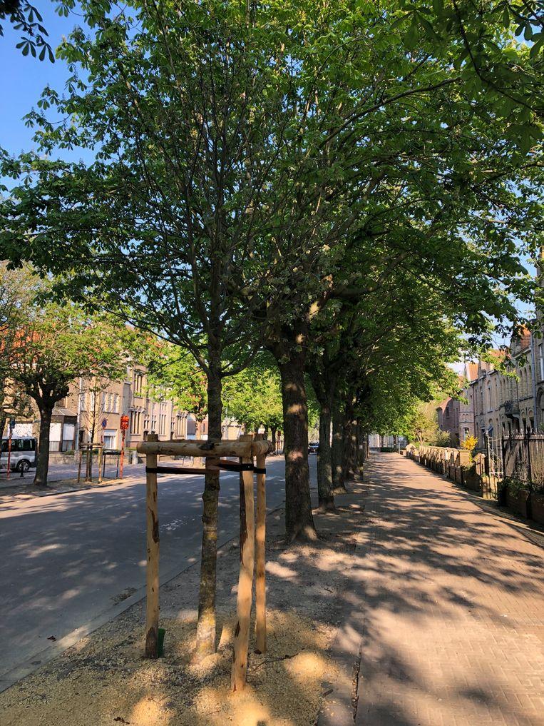 In de Willem De Roolaan zijn de zilverlinden geplant.