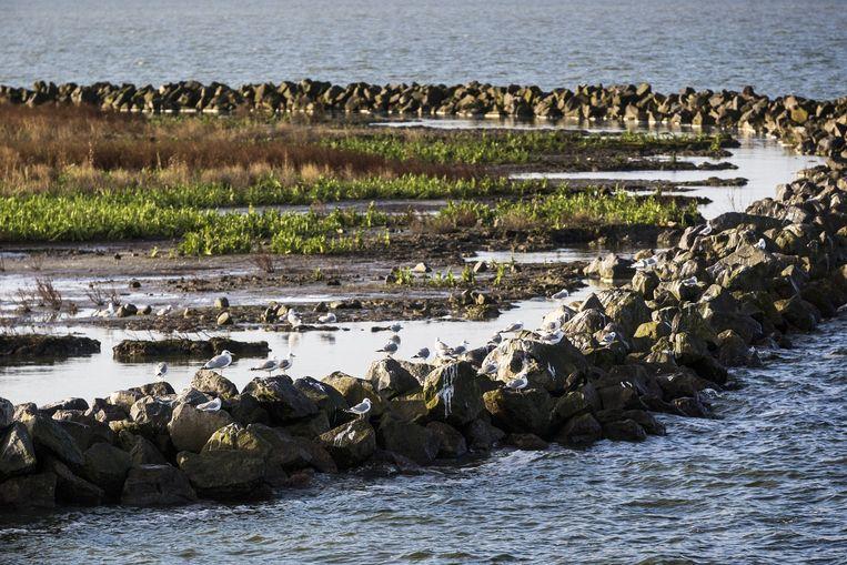 In het Markermeer is Rijkswaterstaat en Natuurmonumenten (ea.) bezig met het testen en aanleggen van een moeraseiland. Beeld Jiri Buller