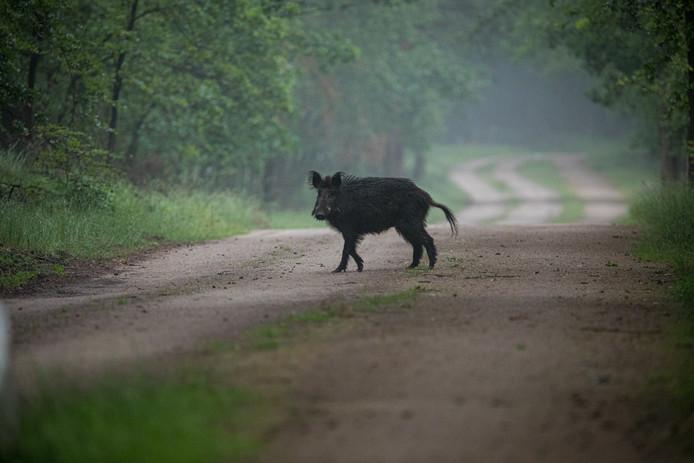 Een wild zwijn steekt een bospad over in kroondomein Het Loo, in de buurt van Gortel. Wie vlak na zonsopgang een wandeling maakt in dit deel van de Veluwe, heeft grote kans op het zien van wild.