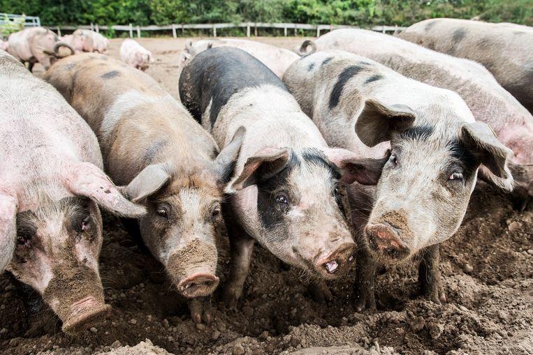Het voorstel van D66 om te veestapel te verminderen zorgt voor veel commotie in Nederland.  Beeld ANP
