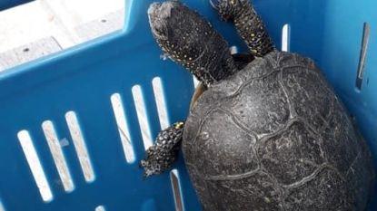 Zeldzame schildpad maakt wandelingetje op boerderij in Diksmuide