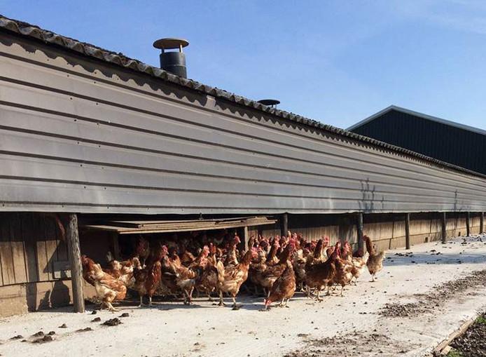 De staldeuren in Millingen gaan open, de kippen moeten nog even wennen aan hun hernieuwde vrijheid.