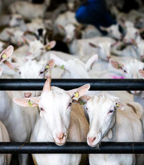 Geen stal voor 2000 geiten maar vier vrijstaande schuurwoningen erbij in Millingen