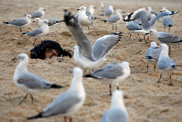 Zeemeeuwen lopen, op het zand van Bondi Beach in het Australische Sydney, om een man heen die door zijn vrienden tot aan zijn nek is begraven... Foto Edgar Su