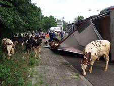 VIDEO: Twee stieren overleden na kantelen vrachtwagen op Rietveldenweg Den Bosch; afrit A59 dicht