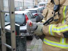 Kip gedumpt in ondergrondse container in Schilderswijk