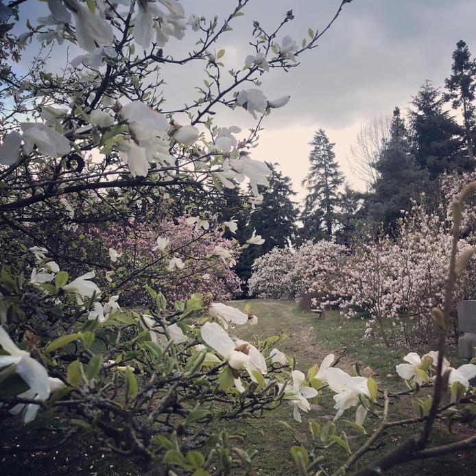 Nog nooit in haar leven zag Marieke zoveel bloeiende magnolia's bij elkaar.