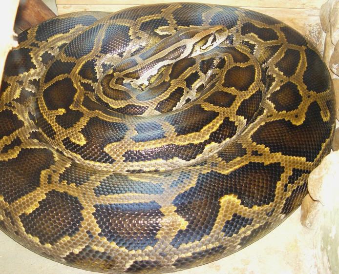 Een Birmese python (foto ter illustratie)