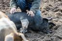Een van de varkens houdt een hazenslaapje.