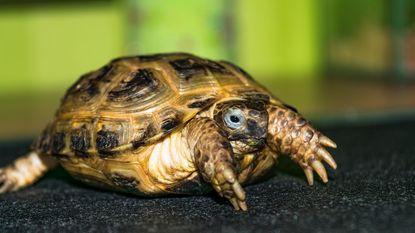 Man laat meer dan 300 landschildpadden creperen in garagebox
