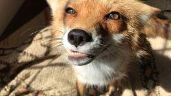 Ooit al een vos horen zingen? Van deze schattigaard lig je gegarandeerd in een deuk!