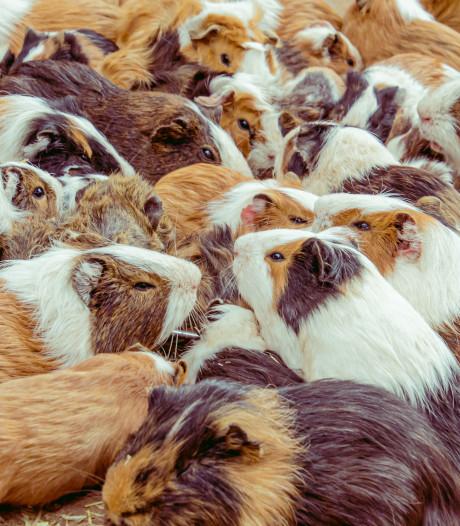 Dierenbescherming en knaagdierencentrum redden 34 cavia's uit te kleine kooien
