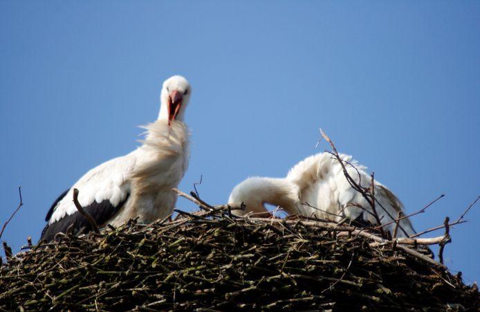 Ooievaarspaar op het nest bovenop de gevangentoren in Megen. Archieffoto Gé Beck