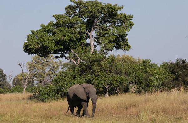 **Botswana overweegt plezierjacht op olifanten weer toe te staan**