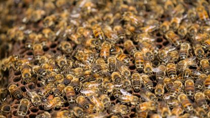 Vrouw overleeft aanval van 'killer bees'
