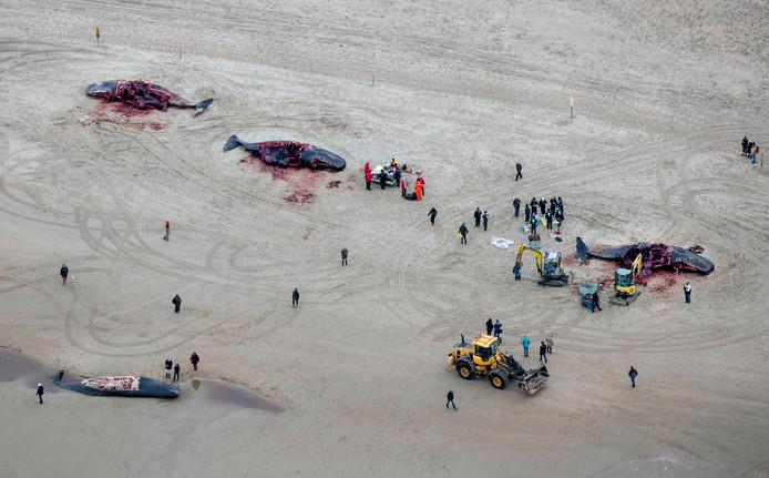 Luchtfotografie van de potvissen die op het strand van Texel aanspoelden.