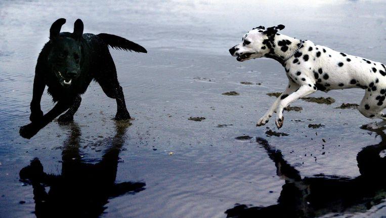 Twee honden spelen op het strand Beeld ANP