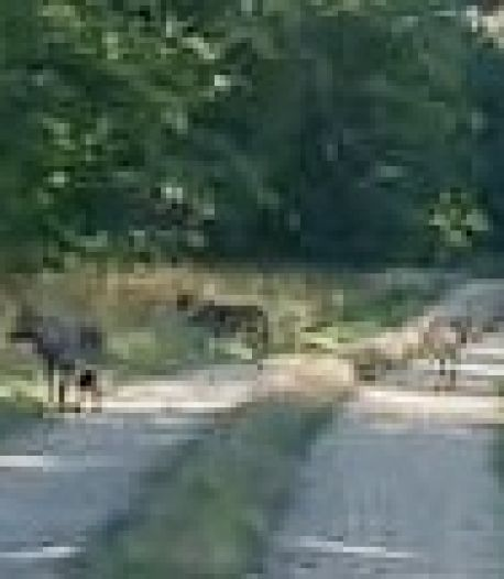 Waarom de wolf wel in Nordhorn zit, maar liever niet in Twente komt wonen