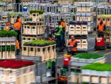 Handelaren voelen zich melkkoeien: Bloemenveiling FloraHolland voert 'wegenbelasting' in