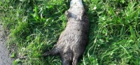 Oproep: denk meer aan de otter bij N307 Kampen-Dronten, na weer een dood exemplaar met 'flinke tik aan de bek'
