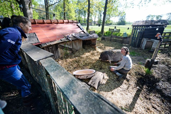 Dierenarts Femke Hogervorst van de praktijk DAP Enschede-Boekelo behandelt bij een woning aan de rand van Enschede een varken. Steeds meer particulieren houden boerderijdieren.