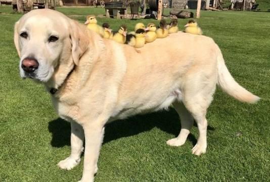 De 10-jarige labrador Fred is 'papa' geworden. De hond ontfermt zich over negen eendjes bij kasteel Mountfitchet in het Britse Essex, sinds hun moeder is verdwenen.
