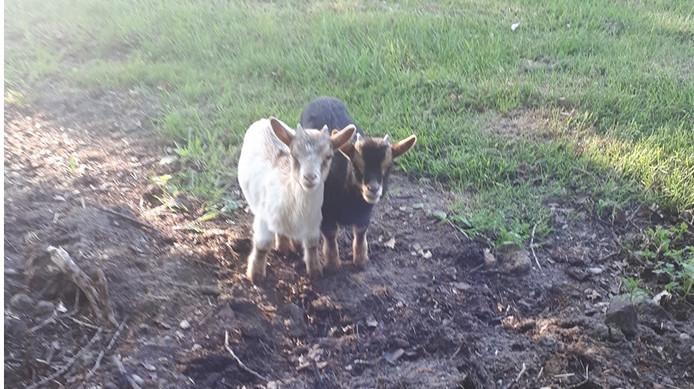 De twee gedumpte geitjes die vanochtend zijn gevonden in De Lutte.