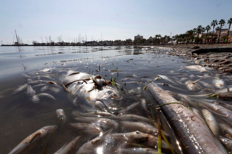 De massale vissensterfte Beeld Marcial Guillén / Efe