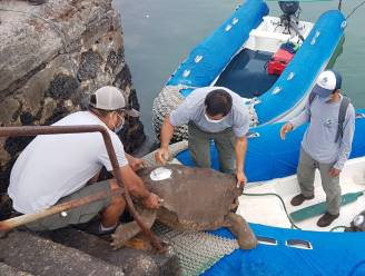 Reuzenschildpadden uitgezet op Galapagoseiland San Cristobal