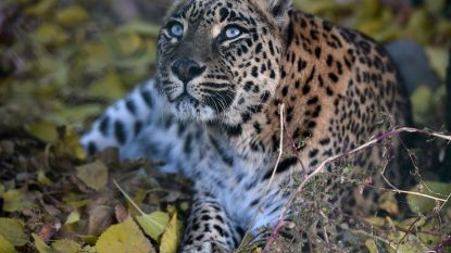 Driejarig kind uit huis gesleurd en gedood door luipaard in India