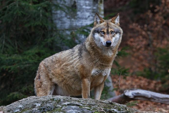 Grijze europese wolf