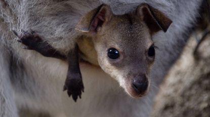Nog zwanger en alweer in verwachting van een tweede jong: de moeraswallaby is haar hele leven zwanger