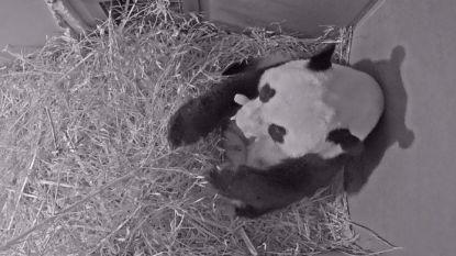 Reuzenpanda bevallen in Nederlandse dierentuin