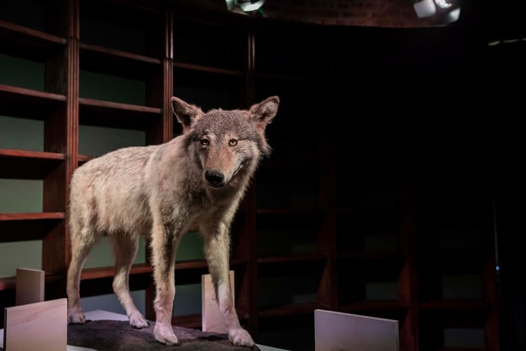 De opgezette wolf Roger.