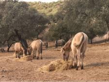 Op bezoek bij de konikpaarden in Spanje: 'De oorlog is in Nederland, niet hier'