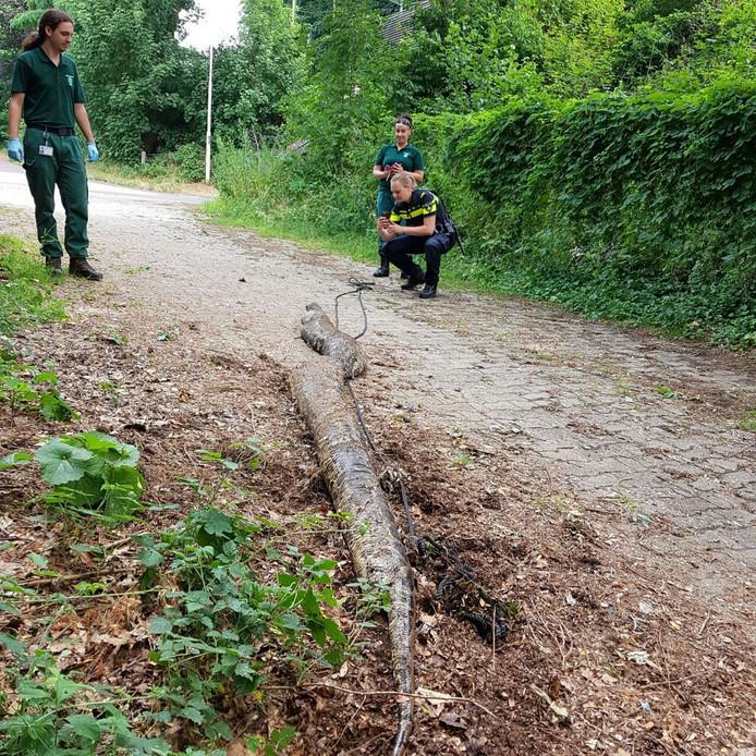 In Oosterbeek werd een dode tijgerpython gevonden van 4,70 meter.