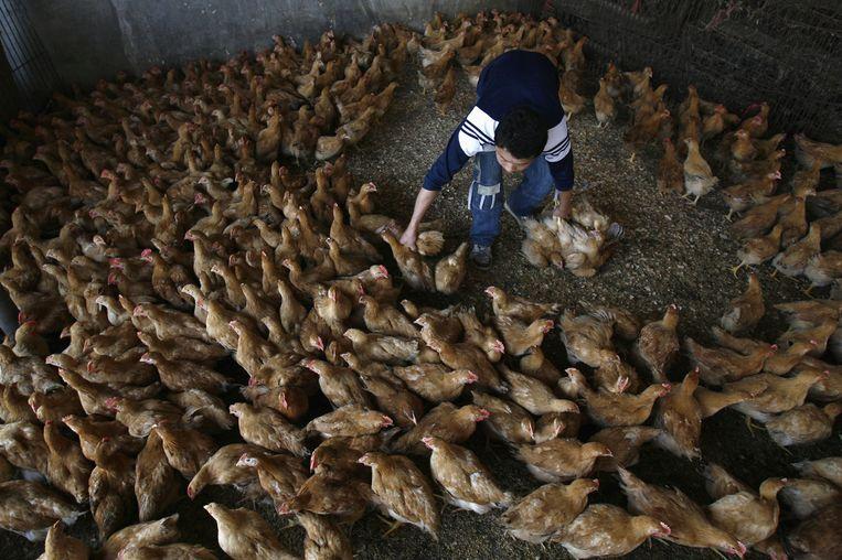 Een verkoper vangt kippen op een dierenmarkt in Wuhan. Beeld Reuters