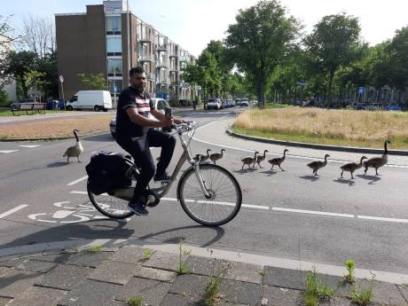 Ganzeneieren in Den Haag massaal onklaar gemaakt door gemeente om plaag te voorkomen