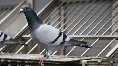Duivenvlucht in Moorsel afgelast door pseudovogelpest