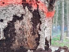 Schorskever veroorzaakt enorme kaalslag van fijnsparren in bossen bij Heerde