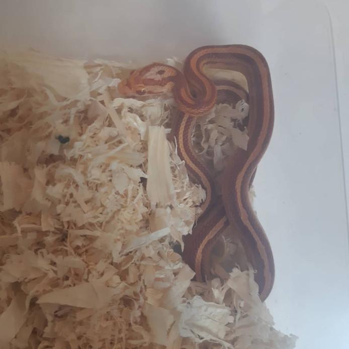 De aangetroffen slang in de binnenstad van Den Bosch.
