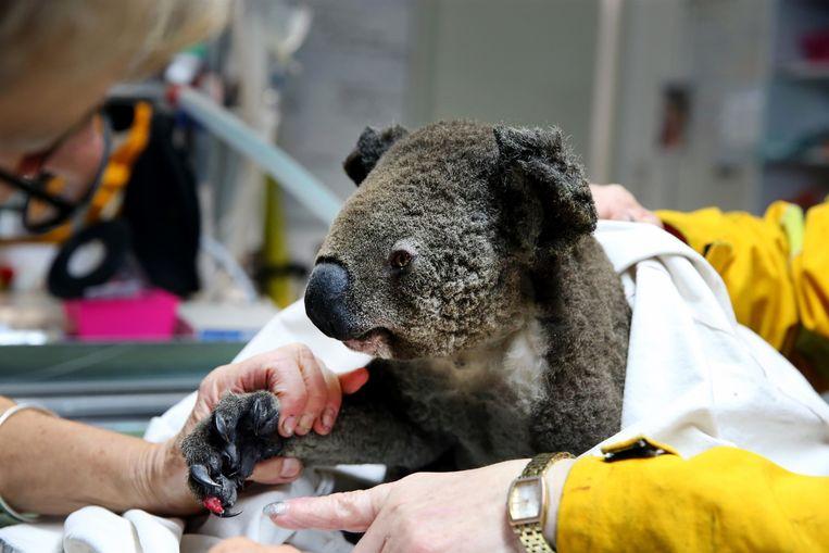 Een gewonde koala krijgt verzorging in het Port Macquarie Koala hospital.