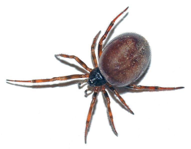 De koffieboonspin is de Europese spin van het jaar 2018. Opvallend: zijn achterlijfje en het feit dat het mannetje 'zingt' om het vrouwtje te verleiden.