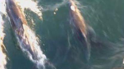Unieke beelden van school dolfijnen voor Belgische kust