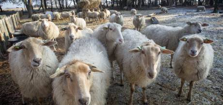 'VIC-terrein Sterksel ligt goed voor heideschapen'