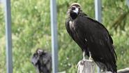 Zoo en Planckendael werken mee aan bescherming van bedreigde gieren